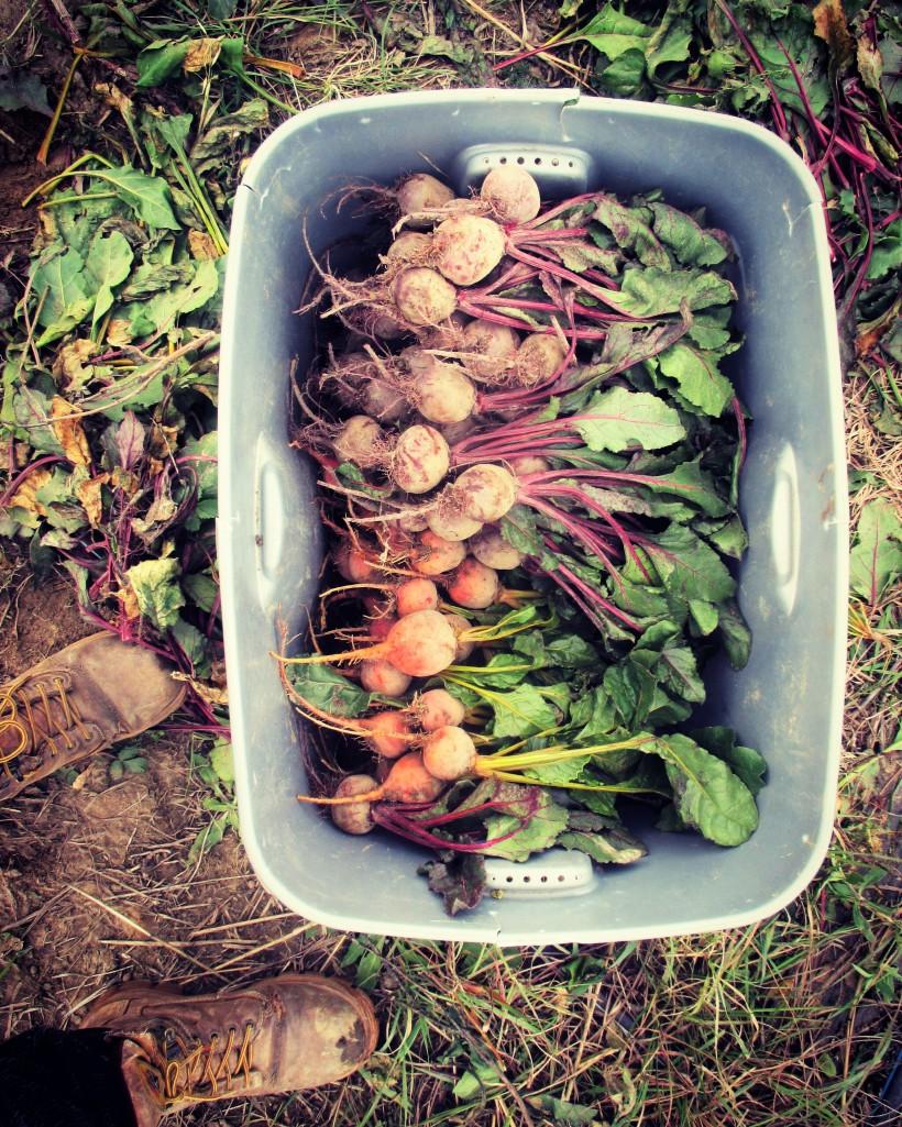 Harvesting Beets | Jupiter Ridge Farm