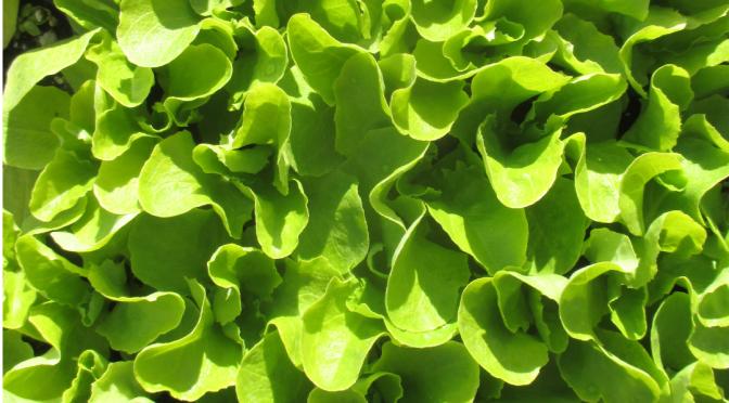 Lettuce Seedlings | Jupiter Ridge Farm