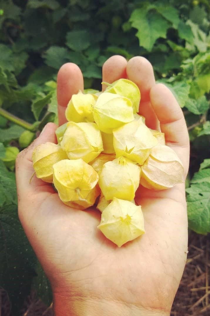 Ground Cherries | Jupiter Ridge Farm