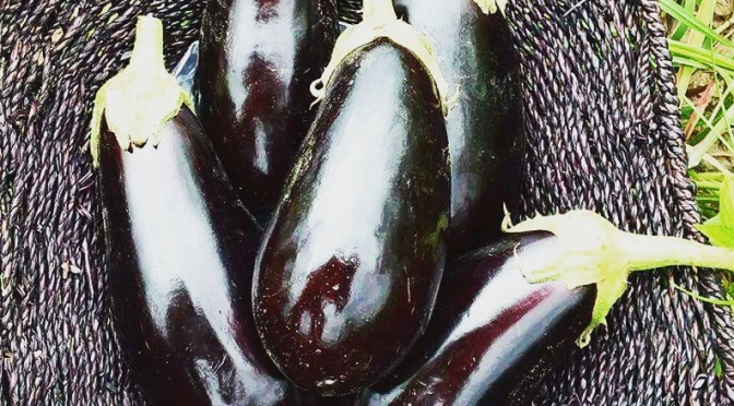 Eggplants | Jupiter Ridge Farm