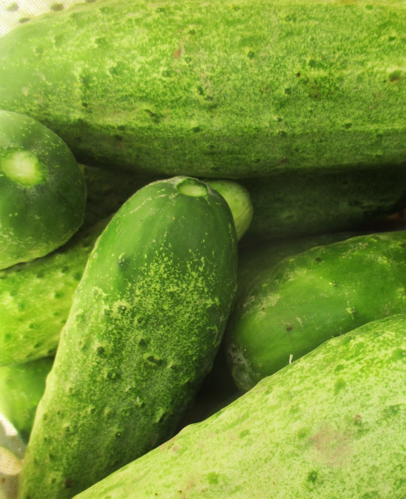 Cucumbers | Jupiter Ridge Farm