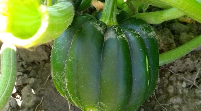 Acorn Squash | Jupiter Ridge Farm