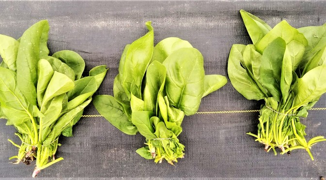 Spinach Bunches | Jupiter Ridge Farm