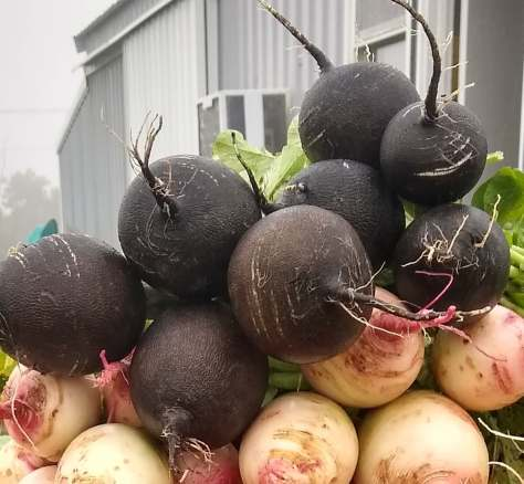 Black Spanish Radishes | Jupiter Ridge Farm