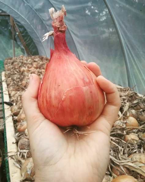 Shallot | Jupiter Ridge Farm