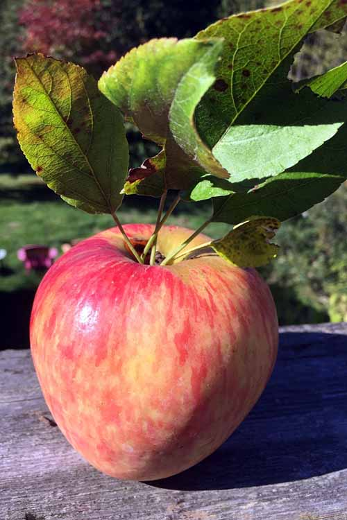 Apple | Jupiter Ridge Farm