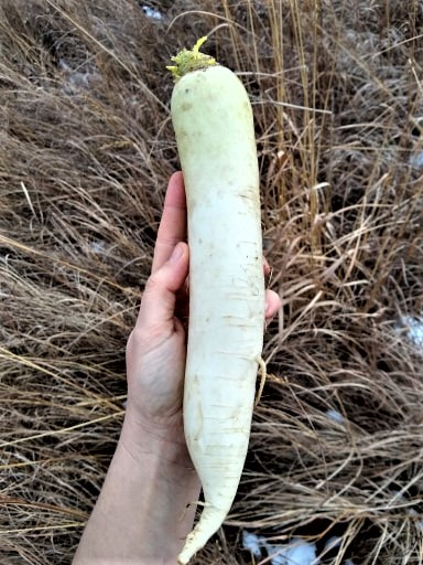 White Daikon Radish | Jupiter Ridge Farm