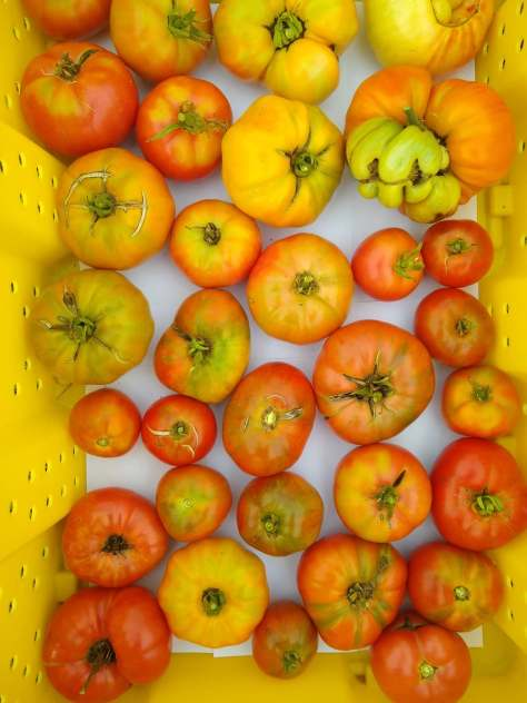 Harvested Slicer Tomatoes