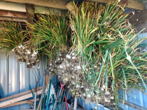 Drying Garlic | Jupiter Ridge Farm