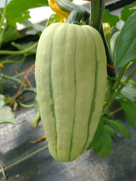Greenhouse Delicata | Jupiter Ridge Farm