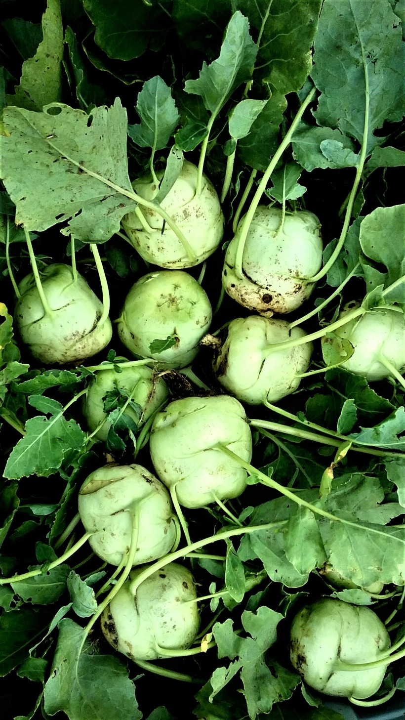 Kohlrabi | Jupiter Ridge Farm