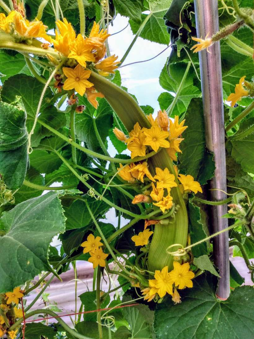 Lemon Cucumber Flowers | Jupiter Ridge Farm