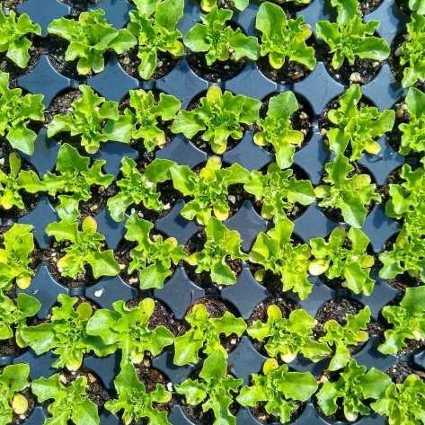 LettuceBrentwoodSeedlings