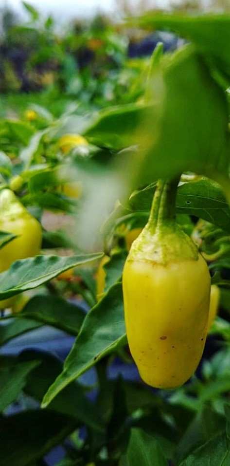 Wenks Hot Pepper | Jupiter Ridge Farm