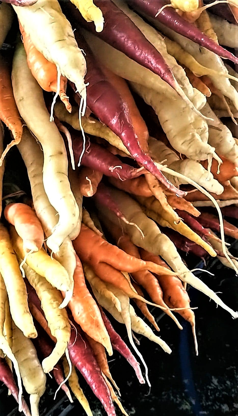 Cleaning Rainbow Carrots | Jupiter Ridge Farm