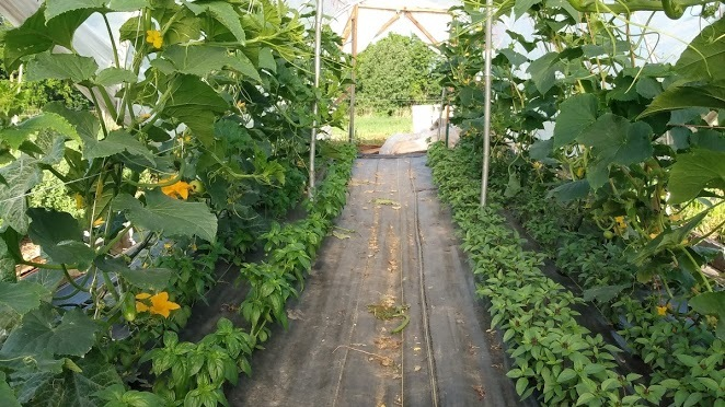 Greenhouse Cucumbers | Jupiter Ridge Farm